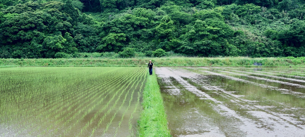 A woman stands on a narrow strip of dry land between two rice paddies, the left one planted.